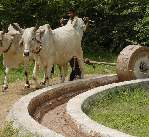 fotografía india vacas